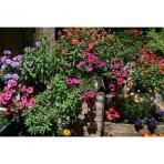 Summer Alpine Flowers in Samoens, France
