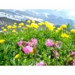 Wild Flowers Walking in Sixt